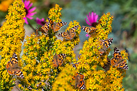 Painted Lady butterflies on yellow flowering goldenrod Solidago 'Witchita Mountains', Denver Botanic Garden