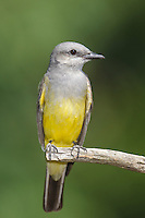 Western Kingbird - Tyrannus verticalis - Adult