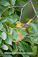 01618-010.13 Orchard Oriole (Icterus spurius) female at nest,  Marion Co. IL