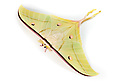 Indian Moon Moth / Indian Luna Moth {Actias selen} photographed on a white background. Captive. website