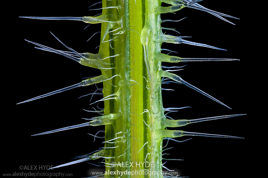 Stinging hairs on a stinging nettle {Urtica dioica}. The silicified tips of the stinging hairs are brittle and snap off easily if the nettle is brushed. Focus stacked image. UK.