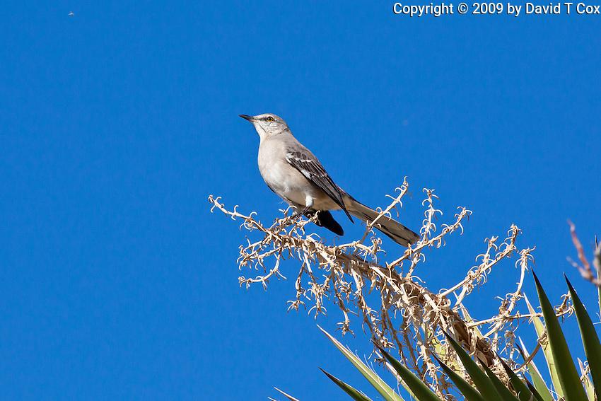 Mockingbird, San Ignacio, Baja Sur, Mexico