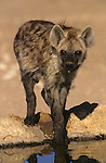 Spotted hyena, Crocuta crocuta, at water, Kgalagadi Transfrontier Park, South Africa
