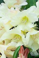 Rhododendron Lemon Dream soft yellow green flowers in springtime, hybrid 'Creamy Chiffon' x R. yakushimanum 'Exbury'