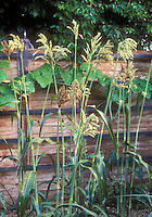Northern Sugar Cane Sorghum vulgare growing against wooden stockade fence, with birdfeeder visible