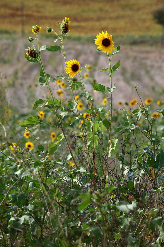 Near Campello sul Clitunno, a village on the Clitunno river: A couple of small sunflowers that smile into the wind. Digitally Improved Photo.