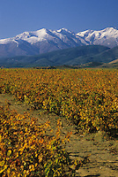 Europe/France/Languedoc-Roussillon/66/Pyrénées-Orientales/Env de Thuir: Vignes (AOC côtes du Roussillon) à l'Automne et Canigou