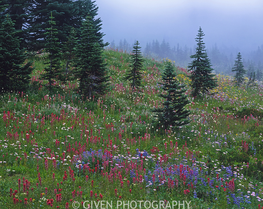 Subalpine meadow in fog, Mt. Rainier National Park, Washington