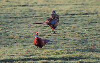 Two cock pheasants fighting at Dinkling Green, Whitewell, Lancashire.