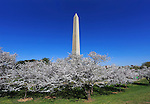 The Washington Monument And Cherry Trees In Full Bloom on a Sunny Spring Day in Washington DC, USA