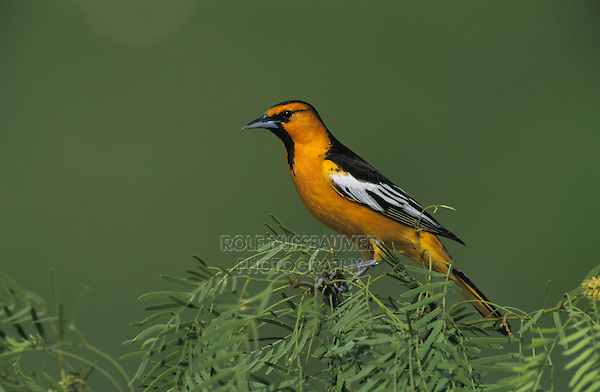 Bullock's Oriole, Icterus bullockii, male on blooming Mesquit tree, Starr County, Rio Grande Valley, Texas, USA
