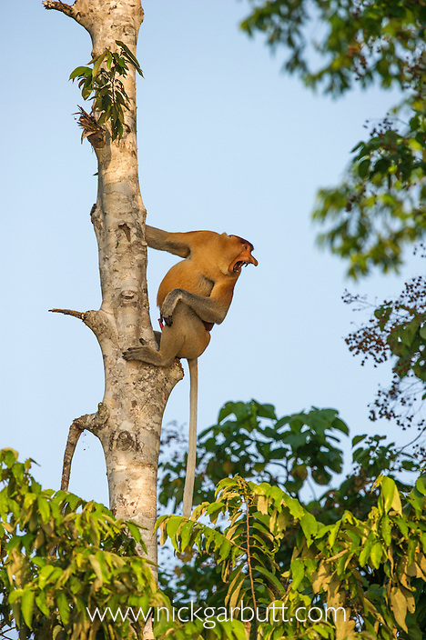 Adult male Proboscis Monkey (Nasalis larvatus) territorial calling to a neighbouring group. Kinabatangan River, Sabah, Borneo.
