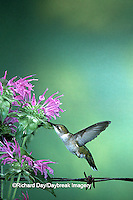 01162-060.20 Ruby-throated Hummingbird (Archilochus colubris) female at Bee Balm (Monarda sp.) Shelby Co. IL