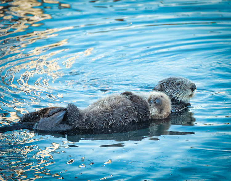 Early morning along the embarcadero in Morro Bay find this mother and baby sea otter floating blissfully on the calm harbor water.