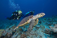 Hawksbill turtle, Eretmochelys imbricata, and divers (MR).  Palau, Micronesia.
