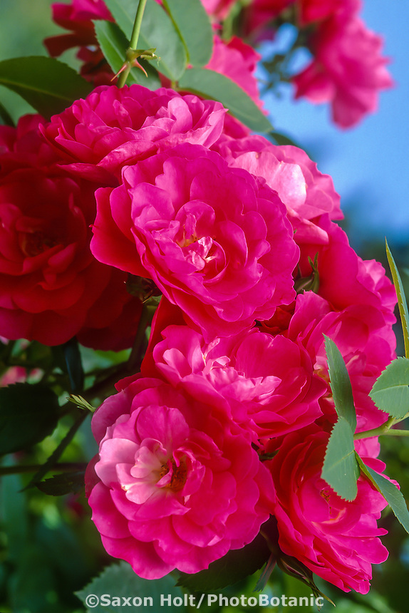 Explorer rose 'John Cabot' pink flowers