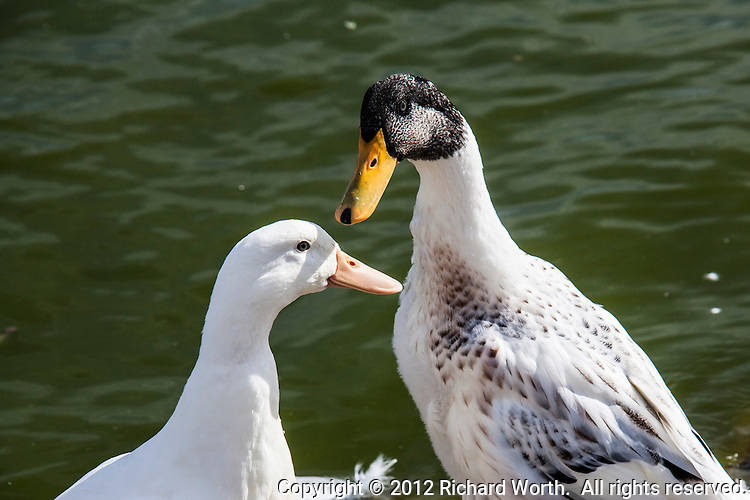 These two are part of the reason the San Lorenzo Park is known as The Duck Pond.