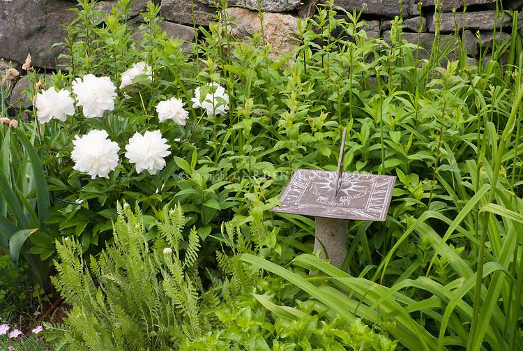 Paeonia white peonies, Sundial with Roman numerals, stone wall
