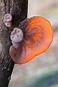 Jelly / Jew's Ear Fungus {Auricularia auricula judae} Derbyshire, UK. January.
