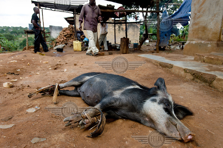 A pig, its feet bound together, lies on the ground awaiting slaughter at an open-air butchery business.