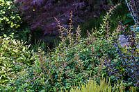 Berberis x gladwynensis 'William Penn', Barberry with prickly foliage; Seattle Washington, Stacie Crooks design