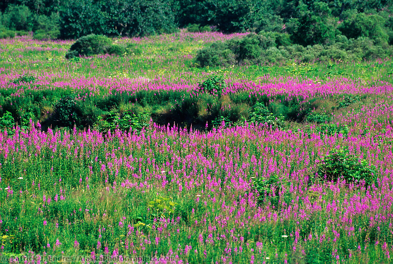 Field of fireweed blossoms, Kodiak Island, Alaska