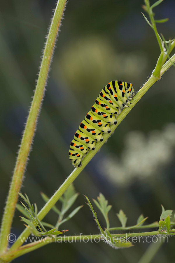 Schwalbenschwanz, Raupe frisst an Wilder Möhre, Papilio machaon, Old World swallowtail, common yellow swallowtail, swallow-tail, caterpillar, Le Machaon, Grand porte-queue