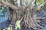 Roots Of Tree, Audubon Corkscrew Swamp Sanctuary