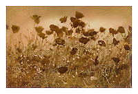 """Size 28.3"""" x 19.5""""<br /> This is a 'one off' print using sensitized gum arabic and watercolor, a 19th. century photographic process. The print is on watercolor paper and is completely archival<br /> Each print can take up to four days to produce.<br /> This print is unique due to the process involved. I may however, produce the same basic image but with a different set of colors, though no more than ten examples.<br /> <br /> Prices on request"""
