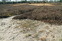 Weiden-Sandbiene, Lebensraum und Nest, Nester, Auen-Sandbiene, Auensandbiene, Weidensandbiene, Sandbiene, Sandbienen, Andrena vaga, Andrena ovina, Grey-Backed Mining-Bee