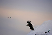 White tailed sea eagle Haliaeetus albicilla in flight, Arctic Norway