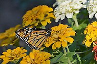 Monarch (Danaus plexippus), adult feeding on Zinnia flower, Hill Country, Texas, USA