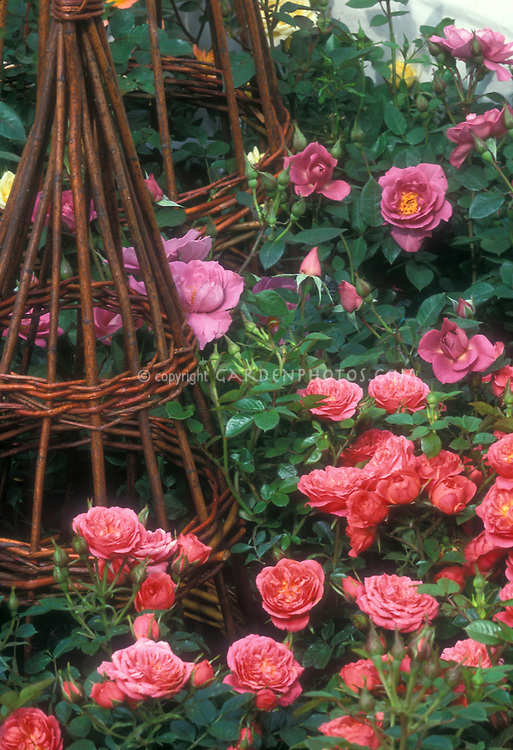 Rosa U0027Pink Sweet Dreamsu0027 U0026 U0027Stardustu0027 Dwarf Patio Roses With Willow Trellis