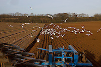 Black-headed Gulls, Chroicocephalus ridibundus with a few Common Gulls, Larus canus following plough and harrow, winter.