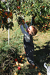 Young Boy Picking an Apple off the Tree at the Orchard, New Hampshire