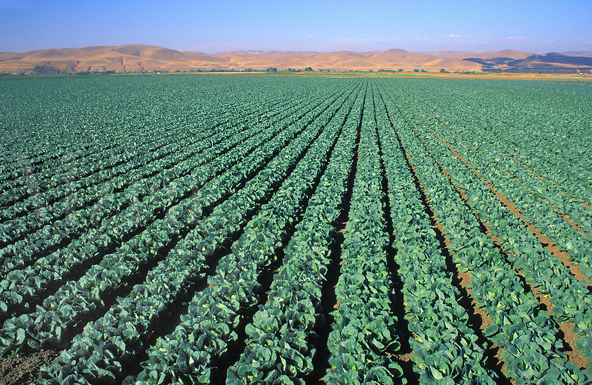 cabbage rows California