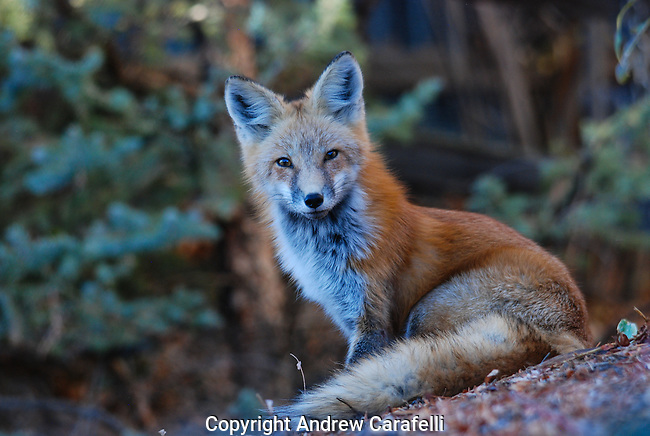 A Red Fox in Colorado peers intently at this photographer.