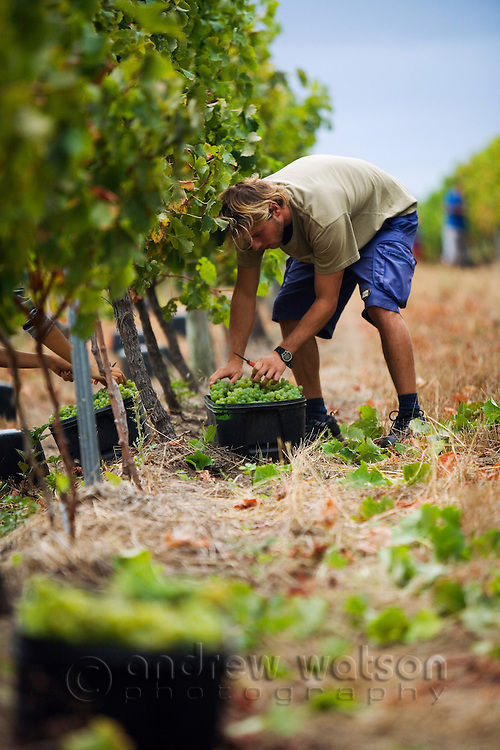 Grapes are harvested by hand.  Margaret River, Western Australia, AUSTRALIA.