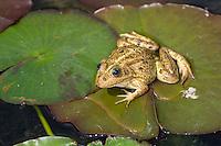 Teichfrosch, Teich-Frosch, Grünfrosch, Wasserfrosch, Grün-Frosch, Wasser-Frosch, Frosch, Frösche, Rana kl. esculenta, Pelophylax kl. esculentus, Edible Frog, Grenouille verte. Süd-Frankreich