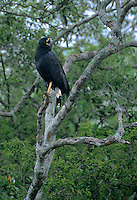 541900005 a wild adult greater black hawk buteo urubitinga perches high in an ebony tree calling to its mate in the tropical jungles of tamaulipas state in mexico