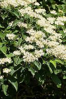 Blutroter Hartriegel, Cornus sanguinea, Common Dogwood, Dogberry, Cornouiller sanguin