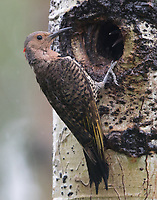 A female Northern Yellow-shafted Flicker pauses from feeding her young at the nest cavity entrance.
