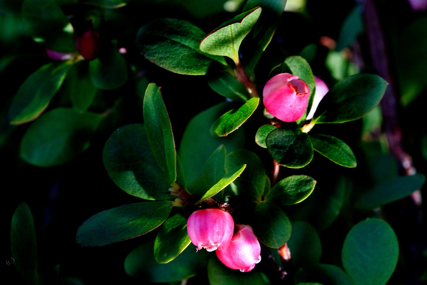 Bog or Alaska Blueberry (Vaccinium ovalifolium) is a plant found in coastal forests throughout southern Alaska and the Aleutian Islands.