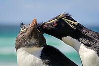 southern rockhopper penguin, Eudyptes chrysocome chrysocome, a subspecies of rockhopper penguin, Eudyptes chrysocome, preening, Saunders Island, Falkland Islands, Atlantic Ocean