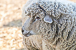 Head shot of Wooly mixed breed sheep Ewe.