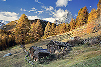 Matterhorn framed by autumn Larch trees, (Larix decidua) Zermatt, Switzerland