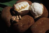 Cupuaçu (Theobroma grandiflorum) é uma fruteira nativa da região amazônica e foi introduzida no sul da Bahia em 1930, na antiga Estação Experimental de Água Preta, no município de Uruçuca. Geralmente é procurado pelo sabor típico de seus frutos, em que há o aproveitamento da polpa e das sementes pelas indústrias alimentícias e de cosméticos, em virtude de suas propriedades sensoriais e químicas. O seu fruto mede de 12 a 15 cm de comprimento e tem de 10 a 12 cm de diâmetro, apresentando em média peso de 1 kg, sendo 30% de polpa e 35 sementes.Amazonas,  BrasilFoto Marcelo Gordo.