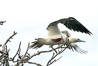 The red-footed booby is the most abundant of the three booby species on the islands with an estimated 250,000 breeding pairs. Although it is the most abundant of the three, it is the least observed.