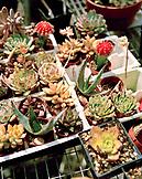 USA, California, young succulents, Bancroft gardens