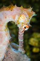 Thorny seahorse, Hippocampus histrix, Lembeh Strait, Sulawesi, Indonesia, Pacific Ocean